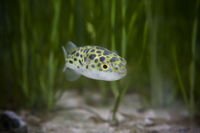 The green spotted puffer fish care feeding and tank set for Puffer fish aquarium