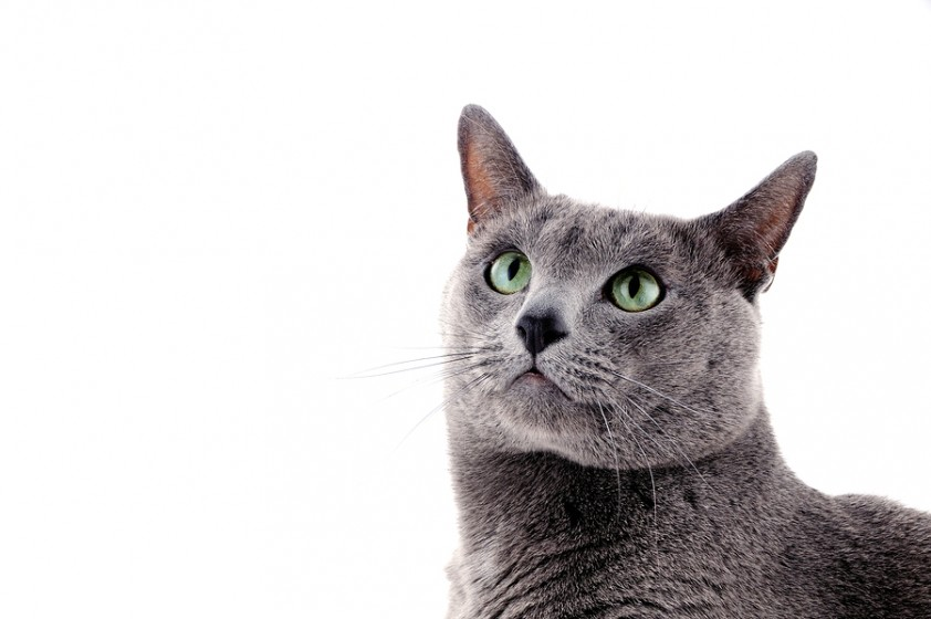10 Cool Facts About Your Russian Blue Mega Bored