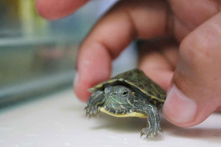 Keeping Common Snapping Turtle As Pets Mega Bored